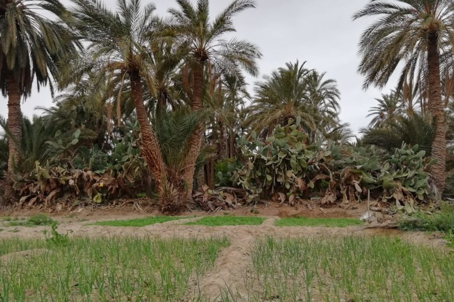 The oases in the Tunisian desert